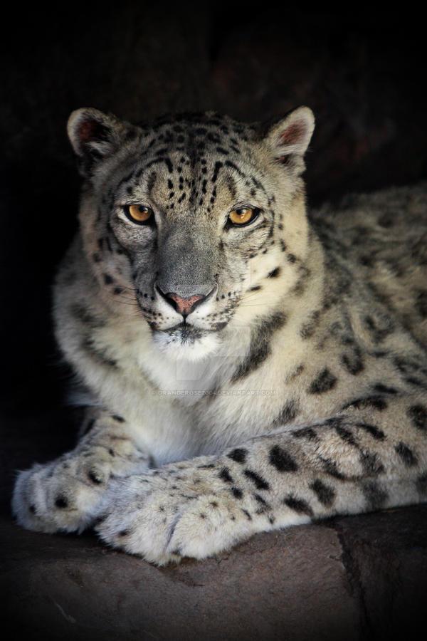 Snow Leopard by orangerose2004