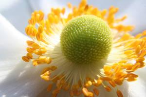 White flower, sunlight, macro by BiancaNoodelijk