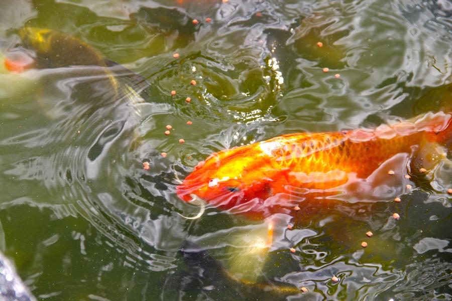 Koi fish pond 6 by emoshunka on deviantart for Koi carp pond size
