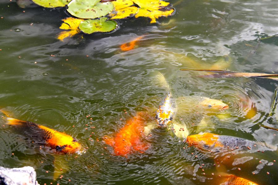 Koi Fish Pond 8 By Emoshunka On Deviantart