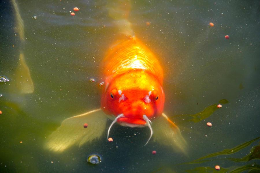 Koi Fish Pond 14 By Emoshunka On Deviantart