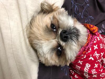 My cute Shih-tzu dog