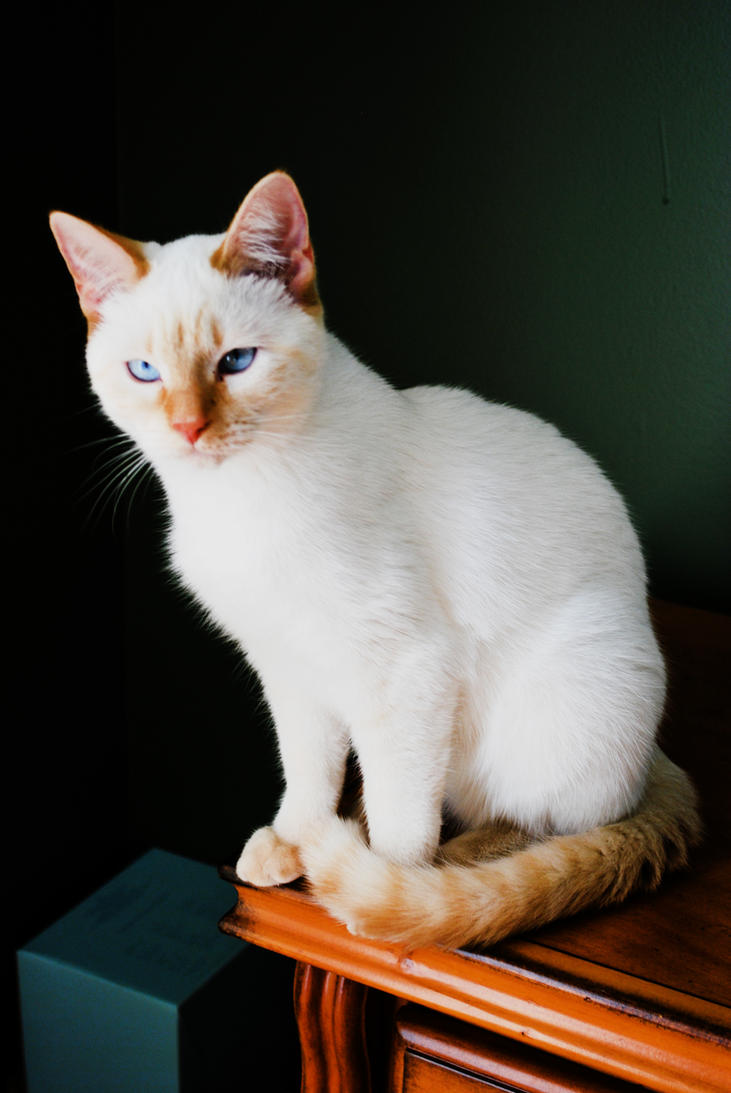 flame point siamese cat long hairstyles