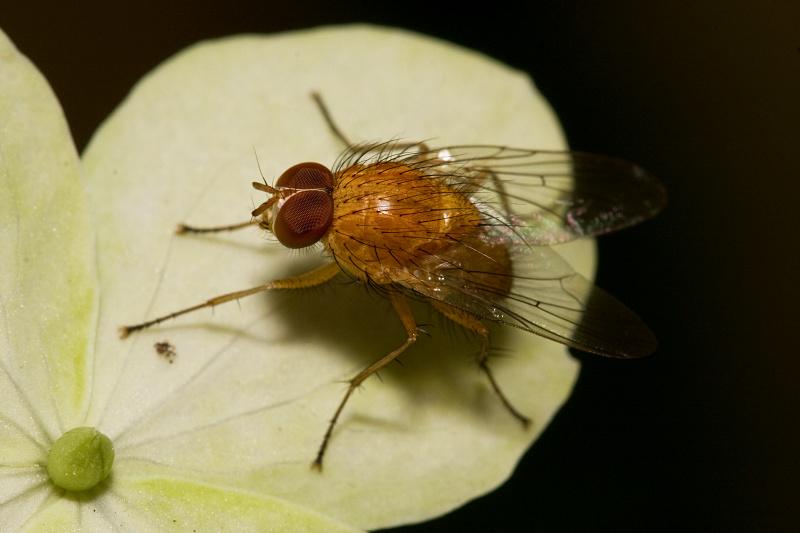 Small orange fly by Tuinhek
