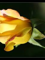 Yellow rose by Tuinhek