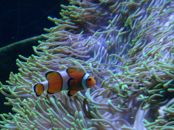 clownfish and sea anemone by Mehrnazz on deviantART