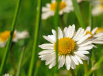 Meadow Of Daises