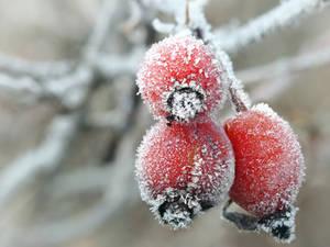 Frosty Rose Hips by VBmonkey26