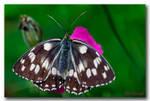 Butterfly - 4 by Celal61