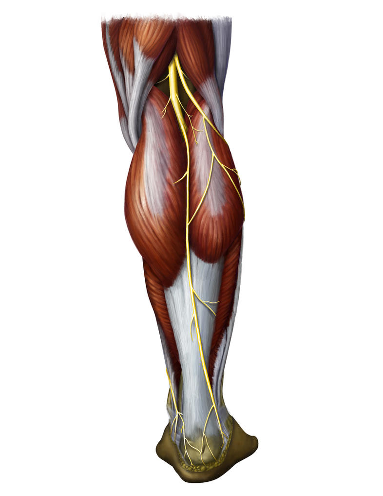 muscles + nerves of lower leg by priapism4art on DeviantArt