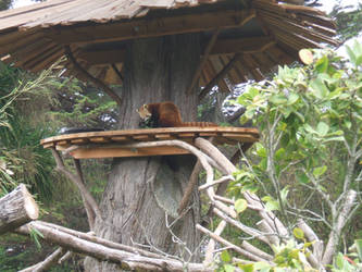 San Francisco Zoo: Red Panda by Black-Silverstar