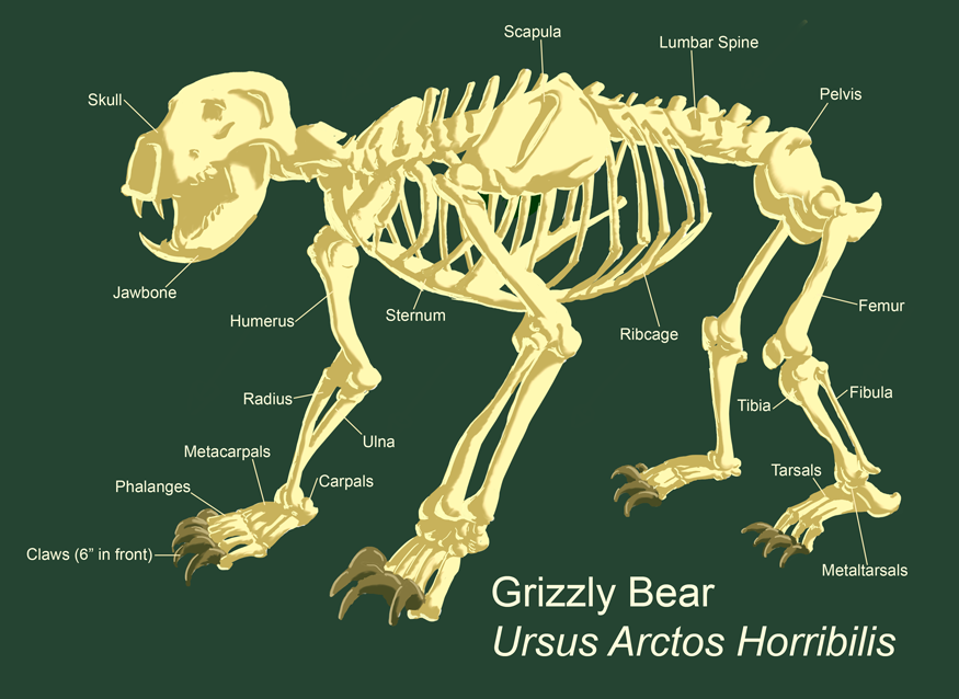 grizzly_bear_skeleton_by_shionyr grizzly bear skeleton by shionyr on deviantart
