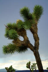 Joshua Tree by Revlis777