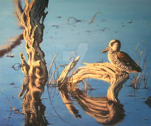 Lake Claremont: Pink-Eared Duck