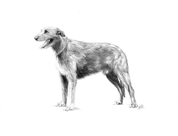 Irish Wolfhound by morganobrienart