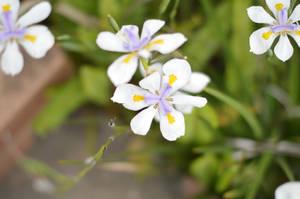 garden bed Iris