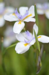 garden flowers iris