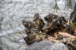 ducklings going to dry land