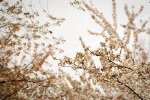 Sakura by Bittersuesz