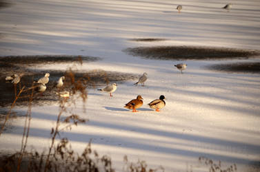 Duck Couple in Winter