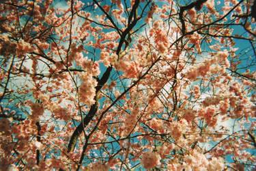 Spring Pink I