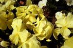 Pale Yellow by Bittersuesz