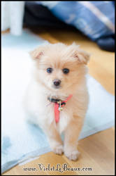My New Pomeranian Puppy Lottie by VioletLeBeaux