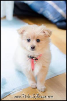 My New Pomeranian Puppy Lottie