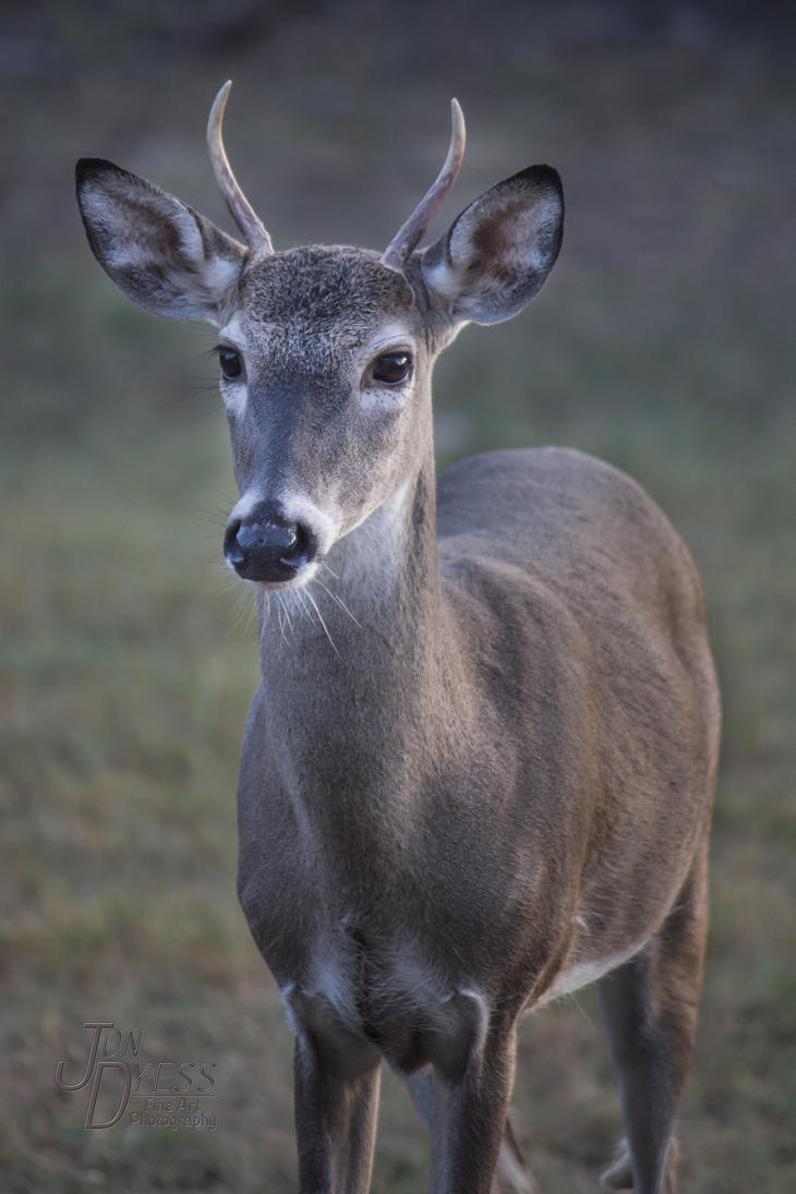 Young Deer by hull612