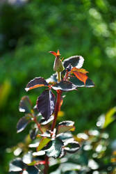 Budding rose bush by Ansie-Ans