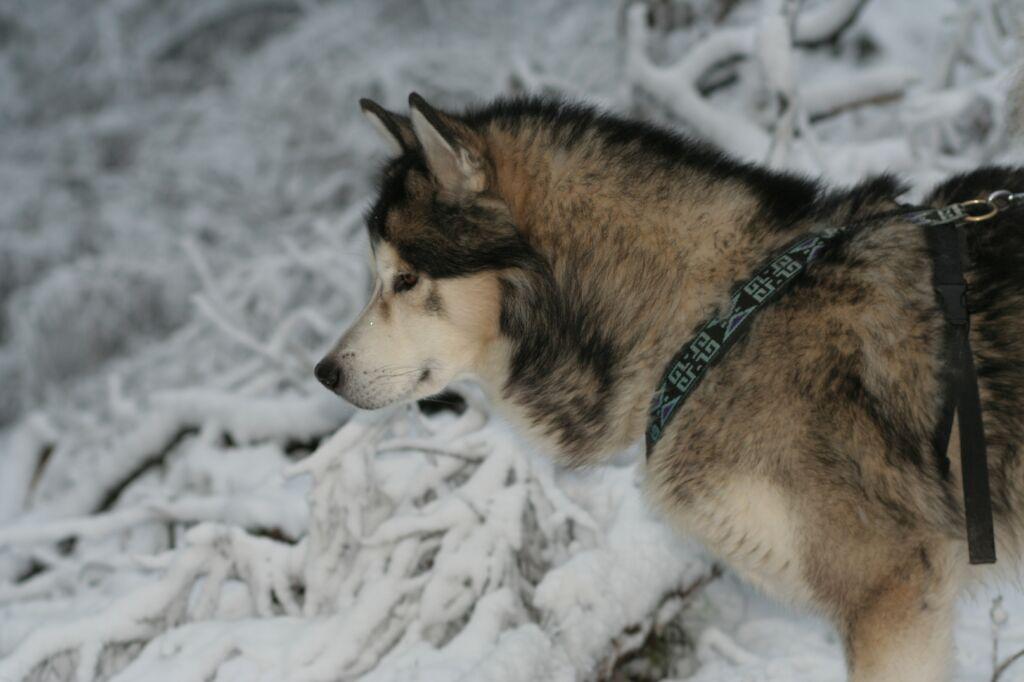 Snowdog by DonkereWolf