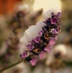 A Lavender Winter by RickHaigh