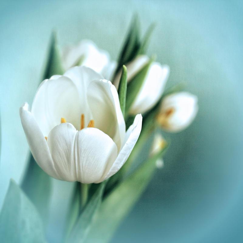 Tulips by RickHaigh