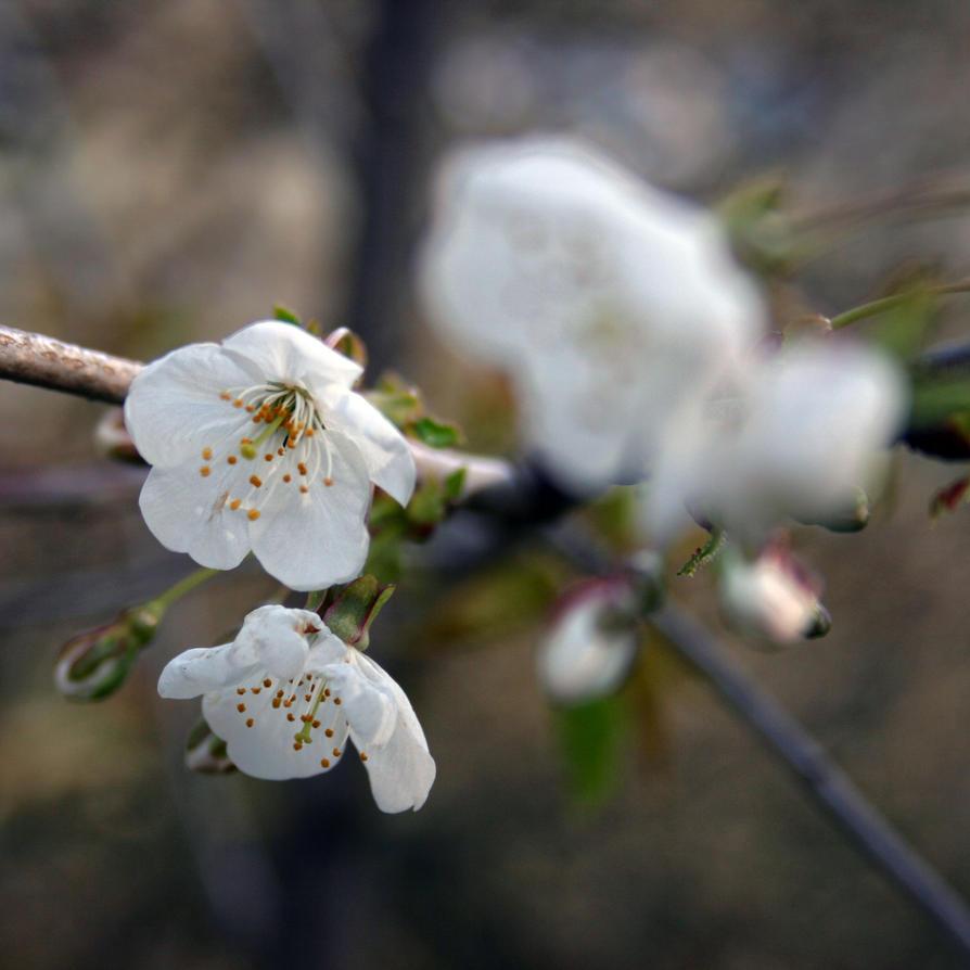 Primavera by RickHaigh