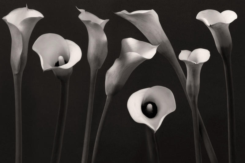 Composition with calla-lily by Floriandra