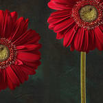 gerbera and playful mood