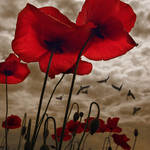 poppies and stormy mood