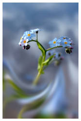 Forget me not in blue mood