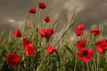 Poppy field before storm