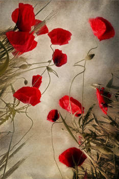 composition with some poppies
