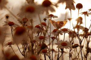 Golden  sunset with daisies