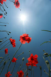sun, blue sky, red poppies