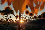 sunflower warm field