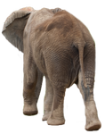 Stock PNG elephant