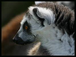 Lemur by jimbomp44