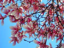 Blooming Magnolia by DariaZart