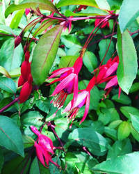 Fuchsias in the walled gardens by xxleannewardxx