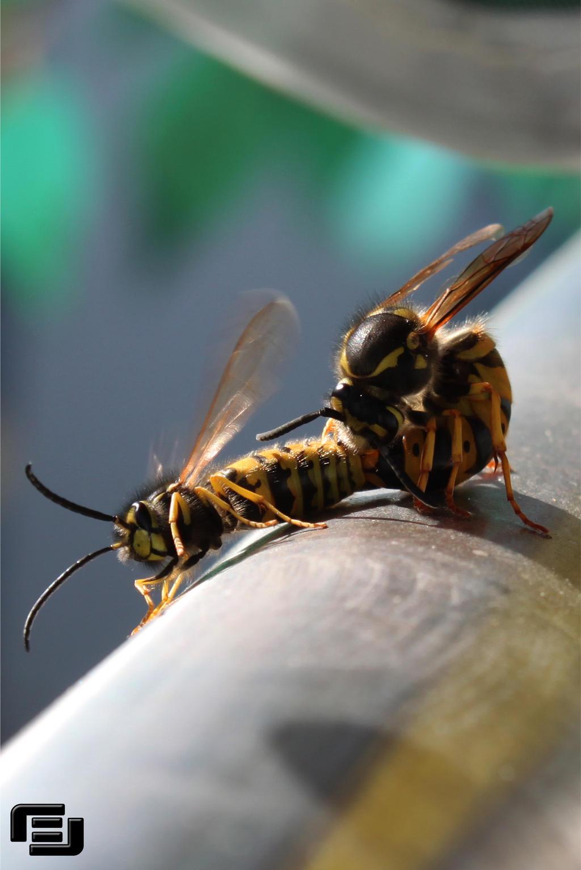 Hornet vs Wasp by Dragonlear on deviantART