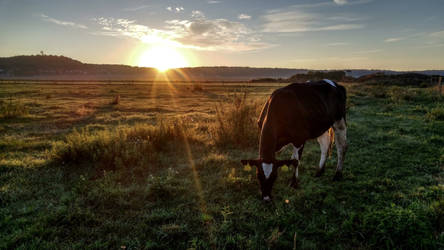 Cow and the sun #2