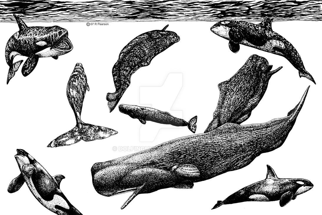 Orcas Attacking Sperm Whales by dolfinguy on DeviantArt